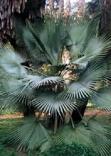 TROPICA - Felsenpalme Brahea dulcis - 10 Samen