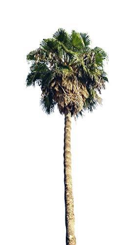 Washington Palmewashingtonia robusta 10 frische Samen Winterharte Palme bis - 5 Crad