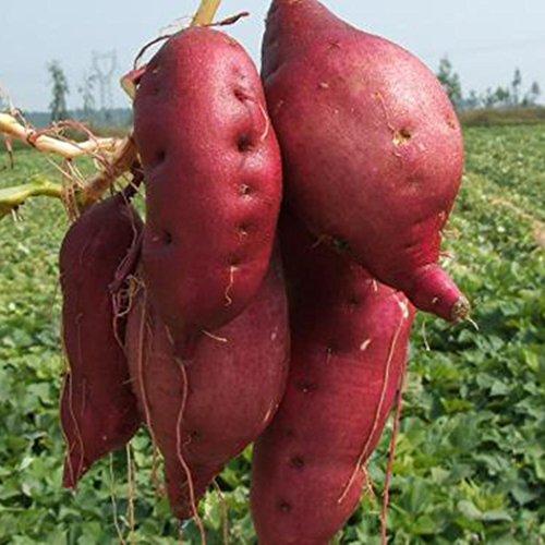 2050pcs Süßkartoffel Samen Gesundheit Anti-Falten-Ernährunglila&rot Süßkartoffel Pflanze Obst Gemüse Samen Bonsai Hausgarten Pflanze