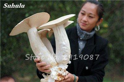 Super Big Mushroom Seeds 40 Stück Bio Köstliche Lustige Pilz Sukkulente Essbare Gesundheit Samen leicht anzubauen für Garten 5
