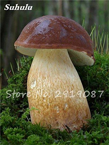 Super Big Mushroom Seeds 40 Stück Bio Köstliche Lustige Pilz Sukkulente Essbare Gesundheit Samen leicht anzubauen für Garten 8