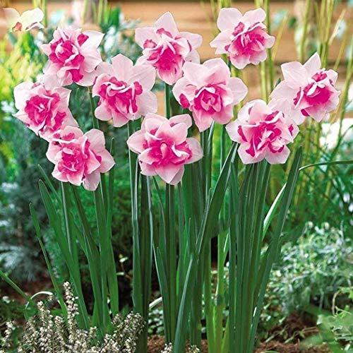 Yukio Samenhaus - Chinsesich 100 Stück Duftend Narzisse tazetta Osterglocken osterglocken Blumensamen für Treiberei Glück und Gesundheit bringen 1