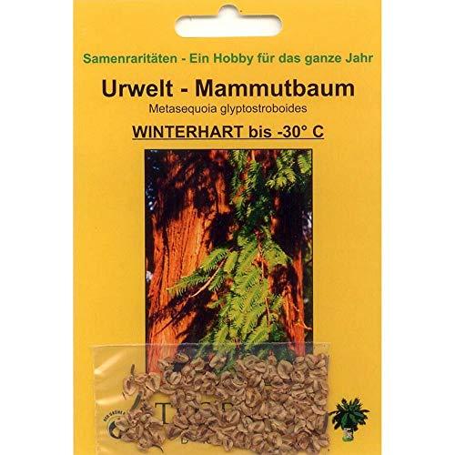 Bonsai - 100 Samen v Metasequoia glyptostroboides Urweltmammutbaum 90040