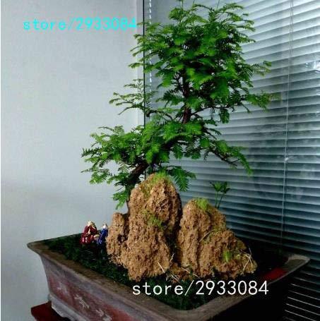 Pinkdose 100 PCChinesisches Rotholz Bonsai-Baum Grove pack - Metasequoia glyptostroboides Bonsai Samen DIY Gartenarbeit Gelb