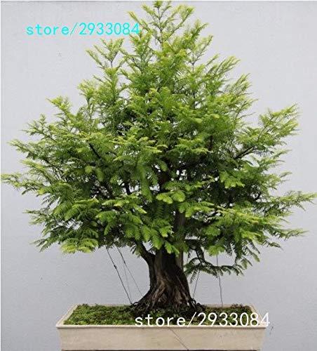 Pinkdose 100 PCChinesisches Rotholz Bonsai-Baum Grove pack - Metasequoia glyptostroboides Bonsai Samen DIY Gartenarbeit Grün