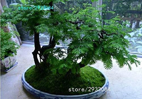 Pinkdose 100 PCChinesisches Rotholz Bonsai-Baum Grove pack - Metasequoia glyptostroboides Bonsai Samen DIY Gartenarbeit Lila