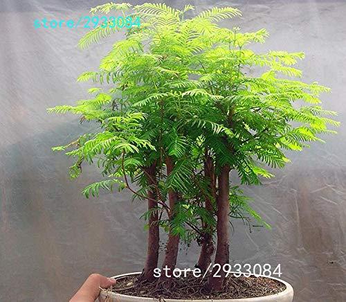 Pinkdose 100 PCChinesisches Rotholz Bonsai-Baum Grove pack - Metasequoia glyptostroboides Bonsai Samen DIY Gartenarbeit Sonstiges