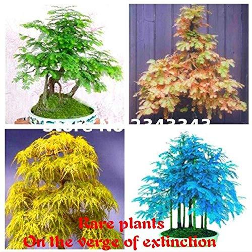 Pinkdose 50 StkPackung Chinesisches Rotholz Pflanzen Bonsai-Baum Metasequoia glyptostroboides Pflanzen Pflanzen DIY Hausgarten-Blumen 2017 Sementes Mehrfarbig