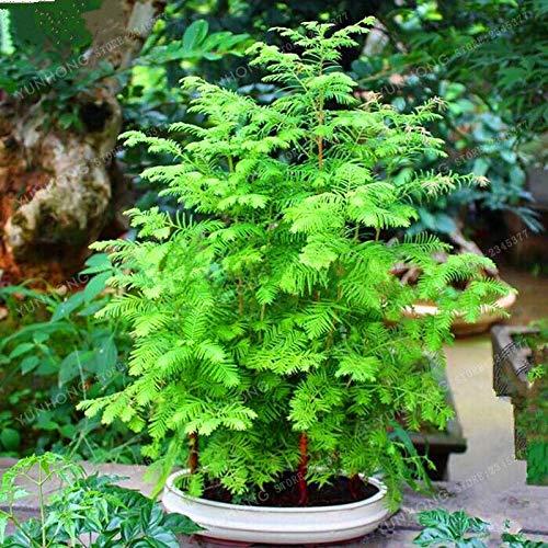 Shoopy Star Redwood Grove Metasequoia Glyptostroboides Samen Bonsai Tree Hausgarten 50 Stücke