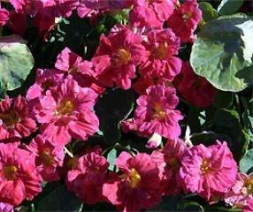Bobby-Seeds Kapuzinerkressesamen Whirlybird Cherry Rose Portion