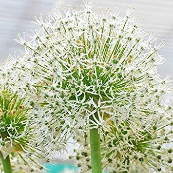 100 Samen Chinas Blumen Riesen Zwiebel Weiße Lauch Giganteum Seed Zierbonsaipflanzen DIY Garten Balkon-Land Miracle