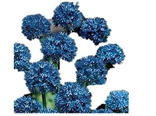 KINGDUO 100 Stk Riesen Zwiebel Allium Giganteum Pflanze Samen Home Garten Pflanzen Bunte Blumen Samen-4