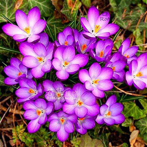 Shopmeeko 100 teilebeutel Safran pflanzen nicht Crocus Safran Zwiebeln Bonsai Blume pflanzen Iran Krokus Topfpflanzen Für Hausgarten Herb Semill Weiß