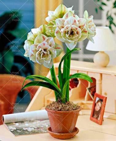 Shopmeeko Seeds Super große Birne Echte Amaryllis Zwiebeln Hippeastrum Blumen Birnen Seltenen Bonsai Barbados Lily Hausgarten Pflanze -1 Lampe vergossen 1