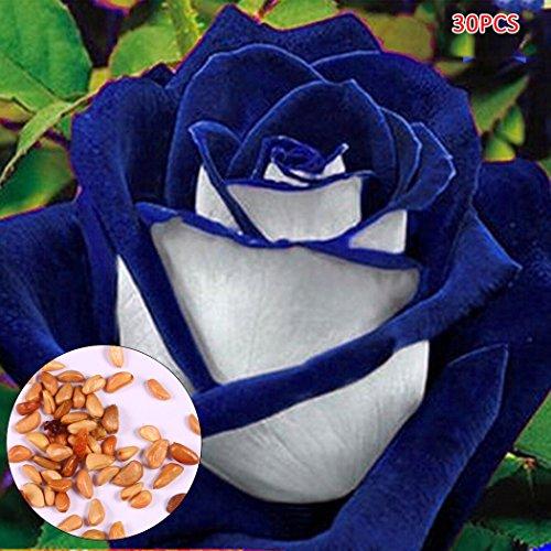 Begorey Garten-3050 stück Rosensamen Edelrose Blumensamen Regenbogen Rose Bunte Blumen Samen für Ihr Garten Balkon Lange Blütezeit winterhart