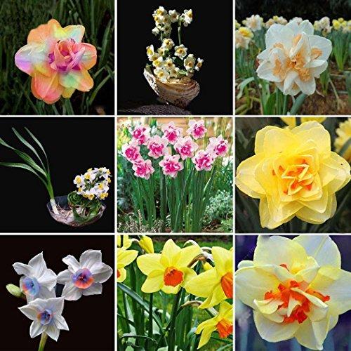 Cehar 100 Stück Narzisse Samen Blumensamen Duftend Blumenzwiebel Saatgut für Balkon Garten winterhart