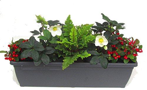 Edles wintergrünes Balkonpflanzen-Set mit Christrosen 5 winterharte Stauden