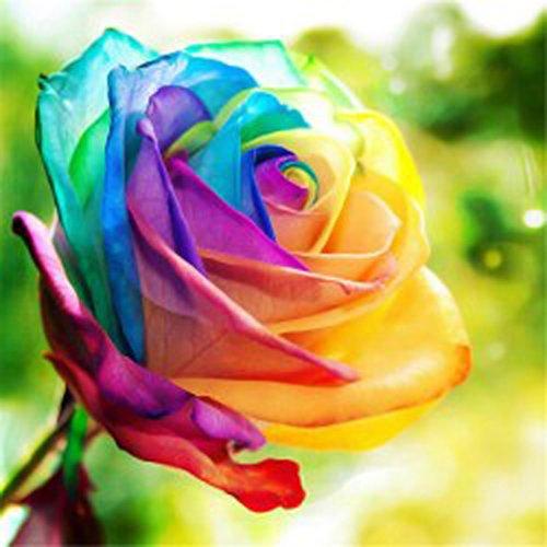 Keland Garten - 20 Stück Selten Regenbogen Parfum-Rose Samen Blumensamen winterhart mehrjährig Kletter-Rose geeignet für Balkon Terasse Topf Garten