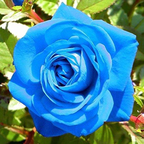 Soteer 50 Blumensamen Rosensamen mehrjährig Bunte Rose Blumen Samen für Ihr Garten Balkon Lange Blütezeit winterhart 8