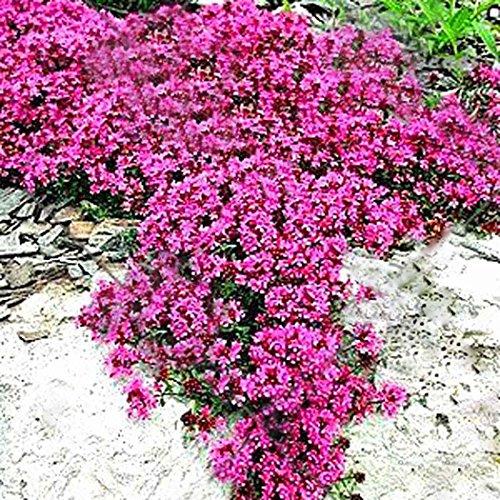 Yukio Samenhhaus - 100 Korn Kletterpflanzen Saatgut Rankende Gärten Blumensamen winterhart mehrjährig für Stein Wand Fenster Terasse Balkon