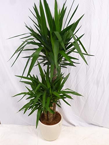 Palmenlager - Yucca elephantipes 160170 cm - 3er Tuff  Zimmerpflanze - Yucca Palme