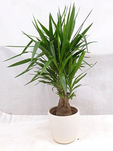 Palmenlager Yucca elephantipes verzweigt - Mutterpflanze - fetter Stamm - 130 cm  Zimmerpflanze Palme