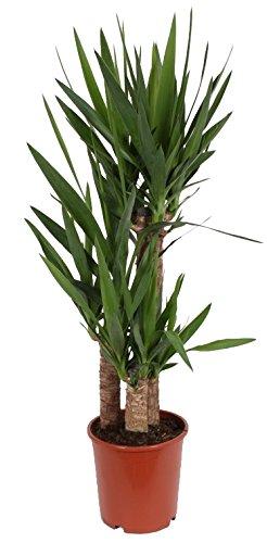 3er Tuff Yucca-Palme Palm-Lilie Yucca elephantipes 3 Stämme ca 95 cm hoch Zimmerpflanzen Kübelpflanzen Palme