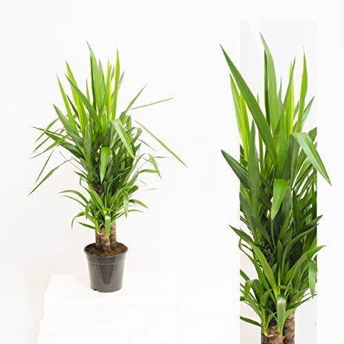 Inter Flowers -3 Köpfe XL Yucca Palme Elephantipes 100 cm- hoch Büropflanze Zimmerpflanze