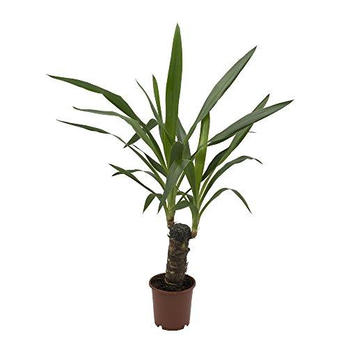 Yucca-Palme 11cm Topf 30-50 cm