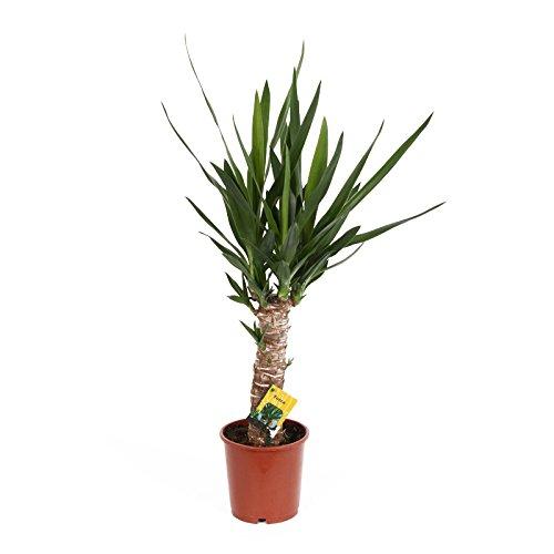 Yucca Palme - Palmlilie -14cm Topf