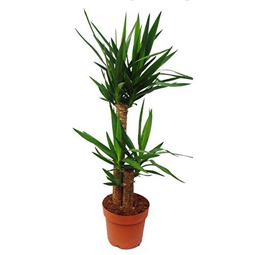 Yucca Palme - Palmlilie - 2 runde Stämme - ca 80-100cm hoch