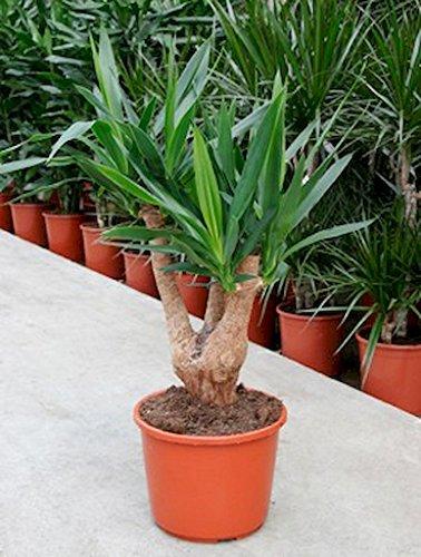 besten yucca palme zum kaufen