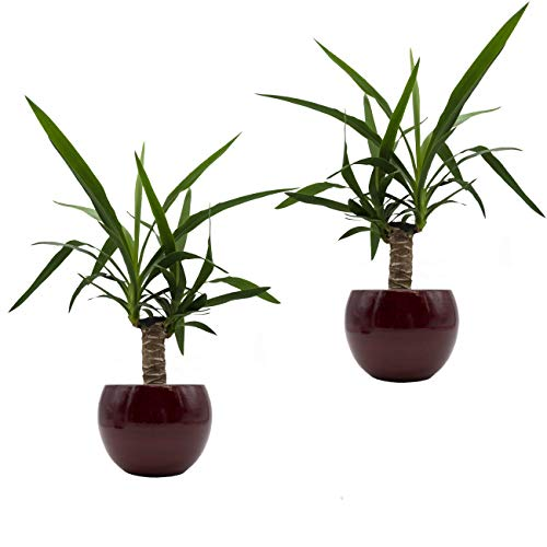 Yucca-Palmen-Duo  DekotopfCresto Rot 2 Pflanzen  2 Deko-Töpfe