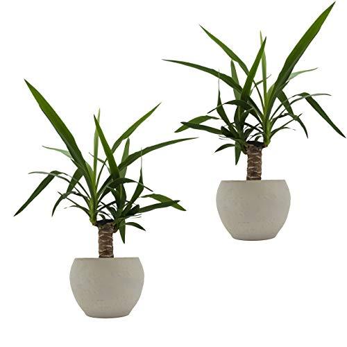 Yucca-Palmen-Duo  Scheurich nature Edition cream 2 Pflanzen  2 Deko-Töpfe
