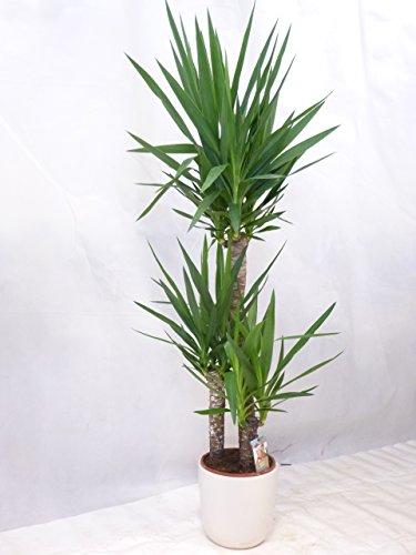 Yucca elephantipes 3er Tuff mit dicken Stämmen 150 cm  Zimmerpflanze Palme