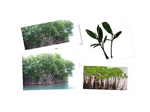 2 Pflanzen -Rote Mangrove- Rhizophora mangle Mangrovenbäume sind super seltene Zimmerpflanzen