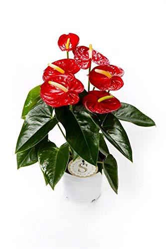 Flamingoblume Anthurium pflegeleichte Zimmerpflanze im 12cm Topf Rot Sorte Red Champion