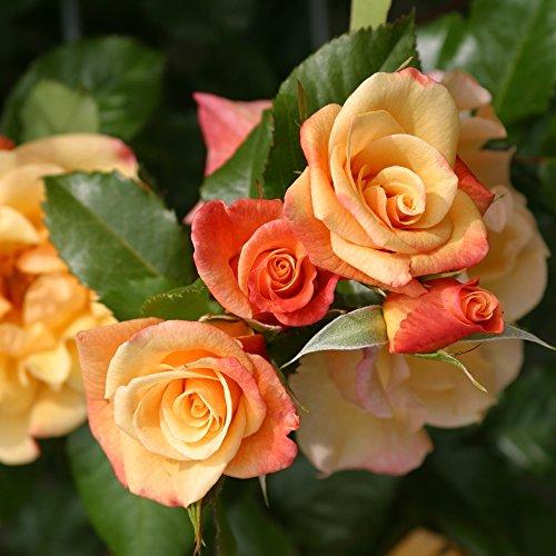 Kletterrose Moonlight in Kupfer-Gelb - Rosa - Kletter-Rose winterhart duftend - Pflanze für Rankhilfe im 5 Liter Container von Garten Schlüter - Pflanzen in Top Qualität