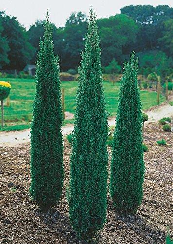 Säulen-Wacholder Sentinel -Juniperus communis Sentinel- Wacholder-Strauch pflegeleicht Säulenform winterhart – Pflanze von Garten Schlüter - Pflanzen in Top Qualität