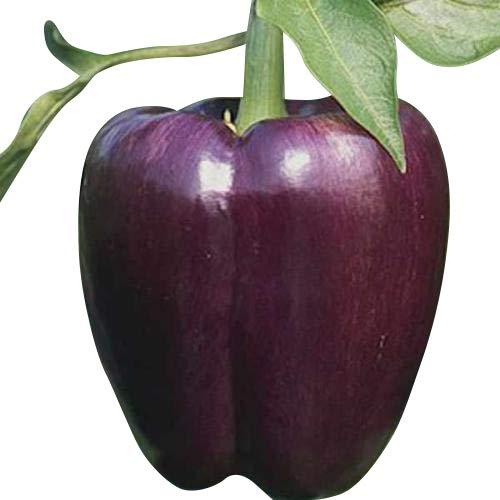 Gemüse Paprika Violett Purple-Beauty 25 Samen