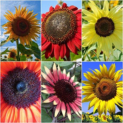 Sonnenblumen Mix - 5 Arten - je 10 Samen - Höhe  bis zu 350 m - sortenrein verpackt