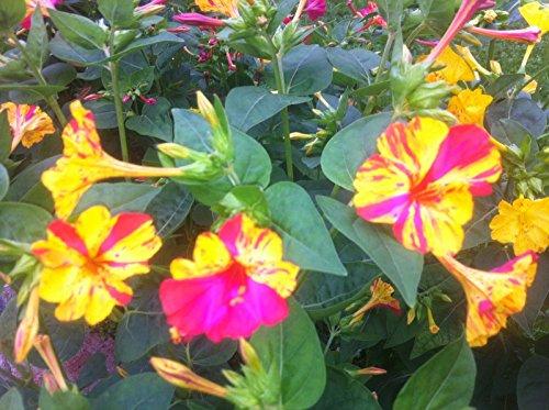 Sperli-Samen Wunderblume Broken Colours Mix