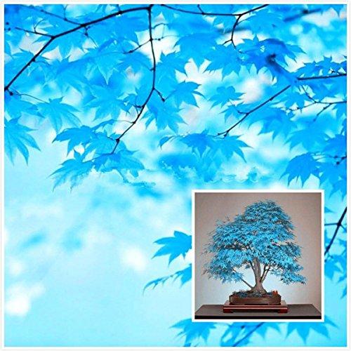Große Verkäufe  20pcs blau Ahornsamen chinesische seltene blaue Bonsai Ahornbaum Samen Bonsai Pflanzen Bäume für Blumentopf Pflanzer