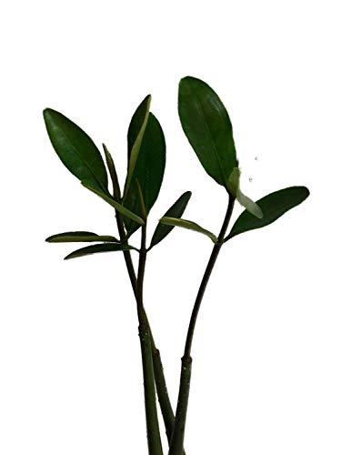 Rote Mangrove Rhizophora mangle SamenKeimlinge Mangrovenbäume sind super seltene Zimmerpflanzen