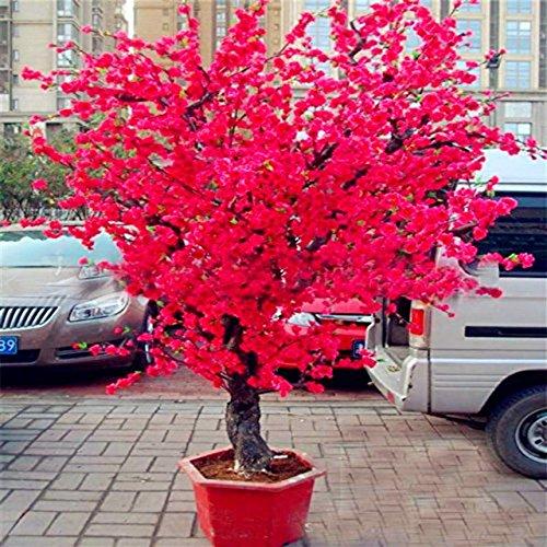 Rowentauk Japanischer Kirschblüte-Samen RotRosa 10g25g Blumensamen für Das Pflanzen für Innenministerium-Garten