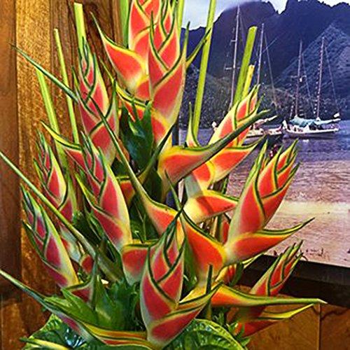 Yukio Samenhaus - Selten Asien 50100 Stück Mucuna Birdwoodiana Samen Exotischen pflanzen Vogel Blumen Samen Garten Pflanzen Seltenen Blumen Neue Pflanzensamen 100 Stück