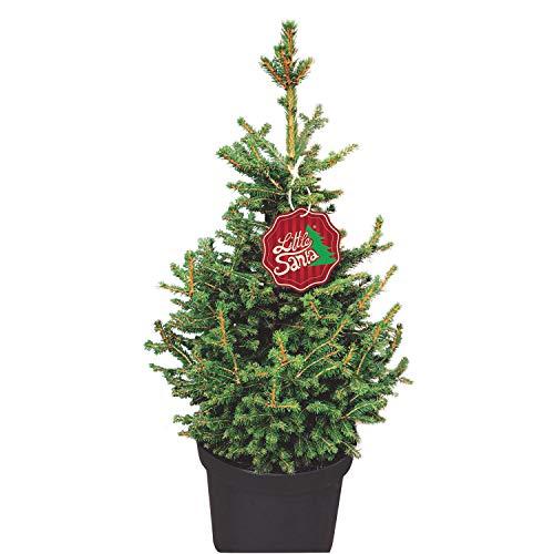 Kleine Fichte Little Santa - Picea abies - Nachhaltiger Weihnachtsbaum für Haus Garten - Lieferung erfolgt im 5 Liter Container und einer Höhe von 60-70 cm - Qualitätsprodukt von Garten Schlüter